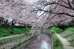 De romantische overwelfde galerij van roze kersenboom komt Sakura Namiki door de kleine rivierbank tot bloei in Fukiage-Stad royalty-vrije stock afbeelding