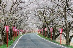 De romantische overwelfde galerij van roze kersenboom (Sakura) komt en de Japanse posten van de stijllamp langs een landweg tot b royalty-vrije stock foto's