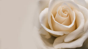 De romige lichtrose abrikoos nam close-up toe Stock Afbeelding