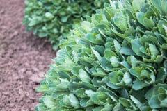 De ronde groene struiken van sierbloemen groeien in de tuin Close-up royalty-vrije stock afbeeldingen