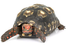 De rood-Betaalde Schildpad van de kers Hoofd Stock Fotografie
