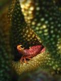 De rood-bevlekte Krab van het Koraal stock afbeeldingen