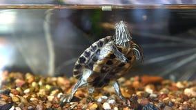 De rood-eared schildpad heeft droog voer stock footage