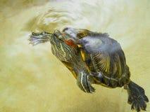 De rood-eared schildpad is op het oppervlaktewater opgedoken Stock Fotografie