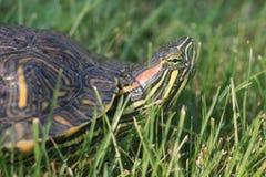 De rood-eared Schildpad van de Schuif Royalty-vrije Stock Afbeeldingen