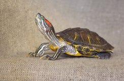De rood-eared schildpad van de vijverschuif royalty-vrije stock afbeelding
