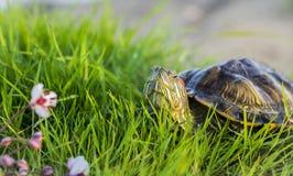 De rood-eared schildpad zonnebaadt op het groene gras Trachemysscripta Royalty-vrije Stock Foto's