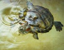 De rood-eared schildpad zwemt in het water Royalty-vrije Stock Afbeeldingen
