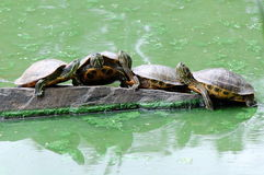 De rood-eared Schildpadden van de Schuif Royalty-vrije Stock Foto's