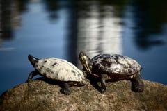 De rood-eared Schildpadden van de Schuif Stock Afbeeldingen
