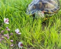De rood-eared schildpadrest op land Trachemysscripta Stock Foto