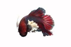 De rood-gefactureerde vissen hebben een groot wit oor op een witte achtergrond Stock Foto's