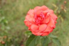 De roodachtige sinaasappel en roze nam bloem in de berg van Himalayagebergte toe stock foto