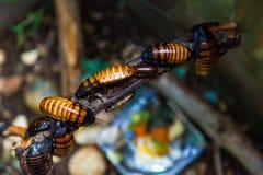 De roodbruine grote kakkerlakken van Madagascar royalty-vrije stock foto's