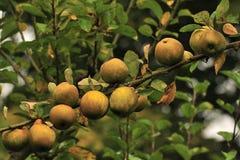 De Roodbruine (Organische) appelen van Egremont royalty-vrije stock foto's