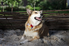 De roodharigehond met de decoratie ligt in de werf - de zomer Stock Foto's