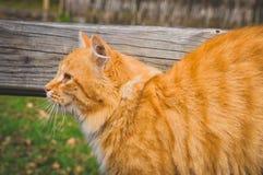 De roodharigekat onderzoekt de afstand royalty-vrije stock fotografie