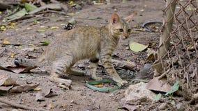 De roofdierkatten vechten met groene slangen stock videobeelden