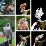 De roofvogel toont dierentuincollage Stock Afbeelding
