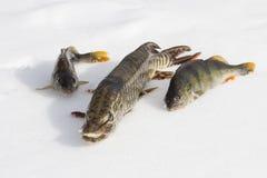 De roofzuchtige vis ligt op de sneeuwsnoeken en toppositie twee stock foto's