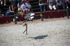 de roofzuchtige wit-de steel verwijderde van adelaar in de zomer bij dierentuin in kleur toont tijdens de vlucht close-up stock foto's