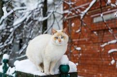 De roomkat met blauwe ogen zit op de omheining op een achtergrond van een rode bakstenen muur Stock Foto's