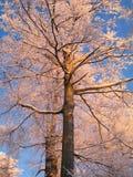 De rooskleurige boom van de Beuk in de winter Stock Fotografie