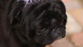 De roquet de reniflement et regard air noir autour, chien malade se sentant mal, vétérinaire clips vidéos