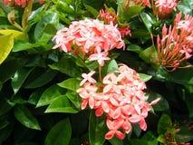 De rosa blommorna är det mycket härliga fotoet Royaltyfri Fotografi
