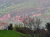 De rosa lutningarna av den höga dalen för kartbokberg med gräsplanfält och träd till fören, April i Marocko Arkivfoto