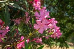 De rosa oleanderna är vid kusten nära havet Begreppet av turism och rekreation Bakgrund arkivfoto
