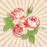 De rosa pionerna på den ljusa bakgrunden Royaltyfria Foton