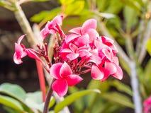 De rosa Plumeriablommorna Arkivbilder
