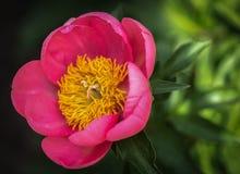 ` de Rose de ` de Paeonia beau Images libres de droits
