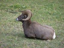 De Ram van het Bighorn Stock Foto's