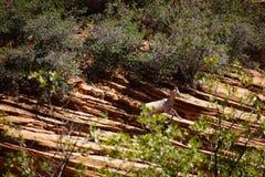 De rotsachtige Schapen van de Berg Stock Foto