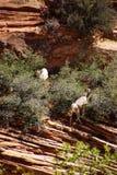 De rotsachtige Schapen van de Berg Royalty-vrije Stock Fotografie