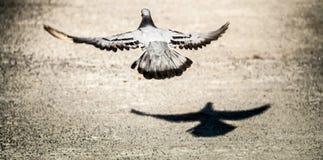 De rotsduif het vliegen en zijn schaduw van de grond voor vrijheid Royalty-vrije Stock Foto's