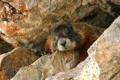 De Rotsen van de marmot Stock Foto's