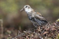 De rotsstrandloper die op een heuveltje in de toendra zit zingt Royalty-vrije Stock Fotografie