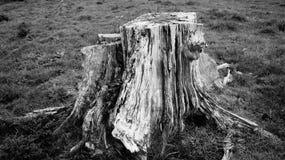 De rottende stomp van de pijnboomboom op Waikato-landbouwbedrijf in Nieuw Zeeland royalty-vrije stock afbeelding