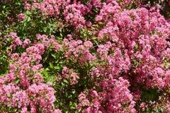 De roze achtergrond van de bloemenstruik in een zonnige de zomerdag Stock Foto's