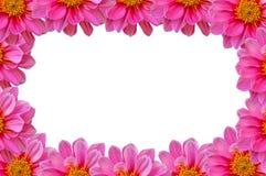 De roze achtergrond van dahiliabloemen Royalty-vrije Stock Foto