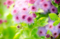 De roze Achtergrond van de Bloem Stock Fotografie