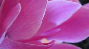 De roze Achtergrond van de Bloem Royalty-vrije Stock Foto's