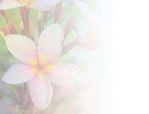 De roze achtergrond van de plumeriabloem Stock Afbeeldingen