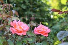 De roze Achtergrond van kleurenrozen Stock Foto's