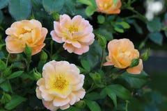De roze Achtergrond van kleurenrozen Royalty-vrije Stock Afbeeldingen