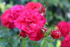De roze Achtergrond van kleurenrozen Stock Afbeelding