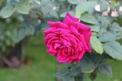 De roze Achtergrond van kleurenrozen Stock Fotografie